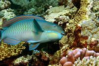 When Reefs Die, Parrotfish Thrive,...