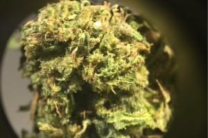 Cannatonic Marijuana Strain product image