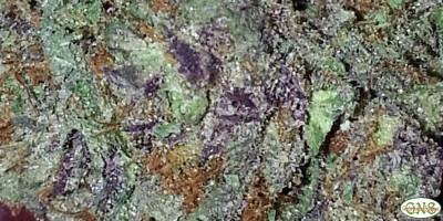 Purple Nepal