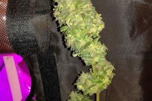 White Widow Marijuana Strain image