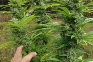 Super Silver Haze Marijuana Strain image