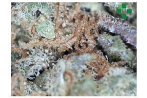 Purple Urkle Marijuana Strain product image