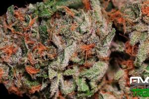 Silvertip Marijuana Strain featured image