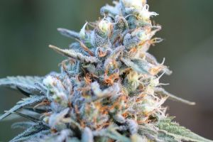 Ripped Bubba Marijuana Strain product image