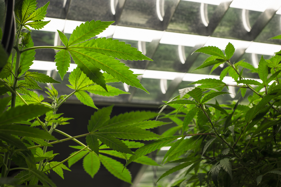 which growing lights are better for indoor weed plants. Black Bedroom Furniture Sets. Home Design Ideas