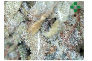 Chocolate Chunk Marijuana Strain product image