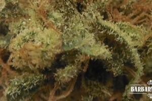 Allen Wrench Marijuana Strain featured image