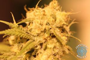 Dutch Treat Marijuana Strain image