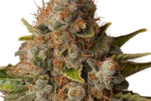 White Widow Marijuana Strain product image