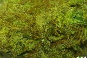 Dutch Treat Marijuana Strain featured image