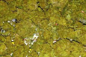 J1 Marijuana Strain image