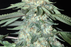 Holy Grail Kush Marijuana Strain product image