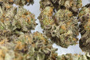Thin Mint Girl Scout Cookies Marijuana Strain product image