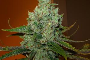 Super Lemon Haze Marijuana Strain product image