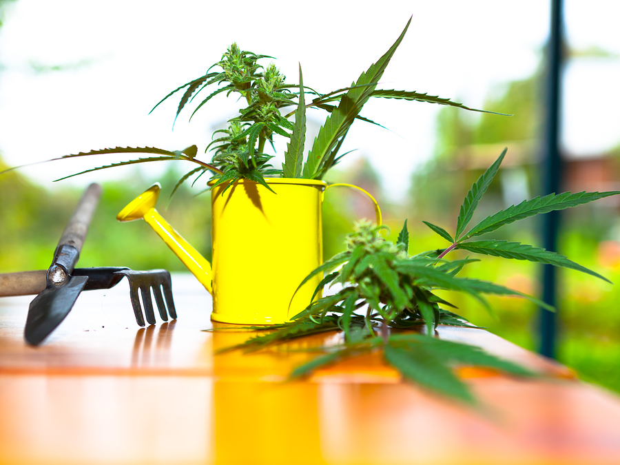 How often do you need to water your marijuana plant for - How often to water vegetable garden ...