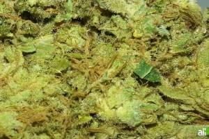 Headband Marijuana Strain featured image