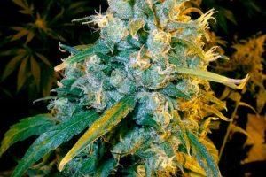 Dutch Treat Marijuana Strain product image