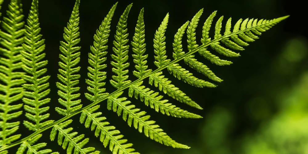 Barsnaley Fern is a natural fractal