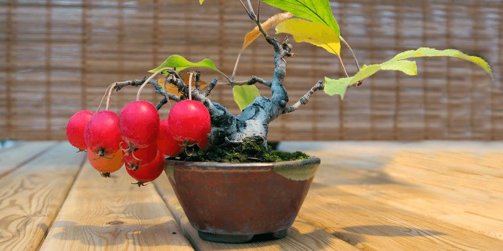 A fruitful Bonsai apple tree.