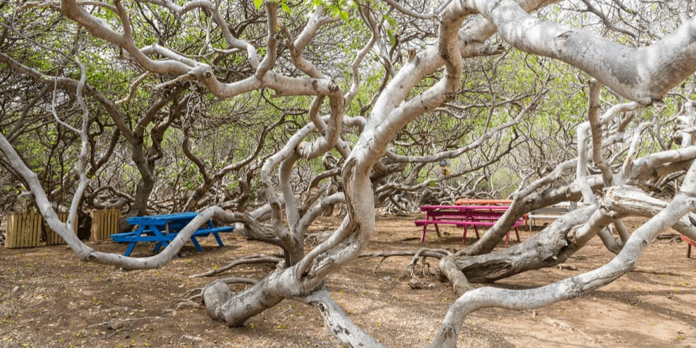 You can't touch this... Manchineel tree!