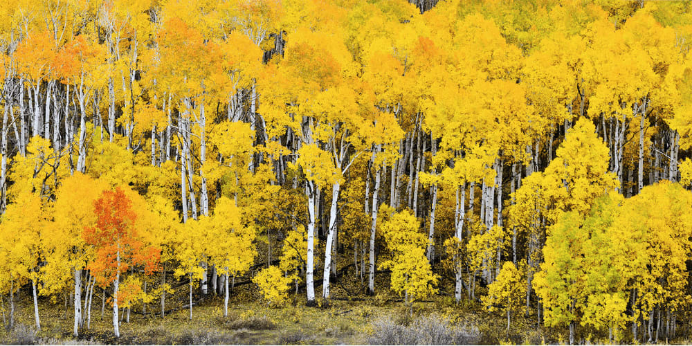 This forest consists of multiple clones of a single aspen tree.
