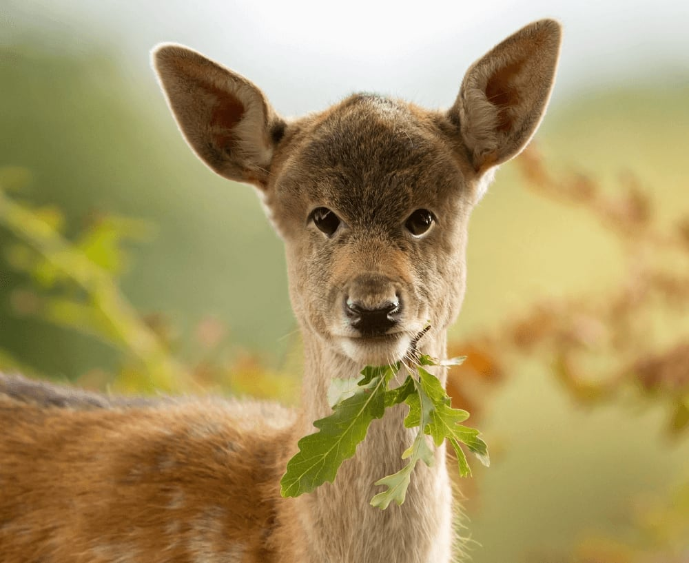 Deer with eyes in the front