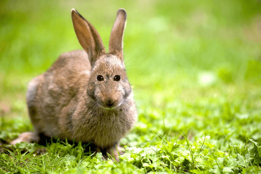 Rabbit with eyes in the front