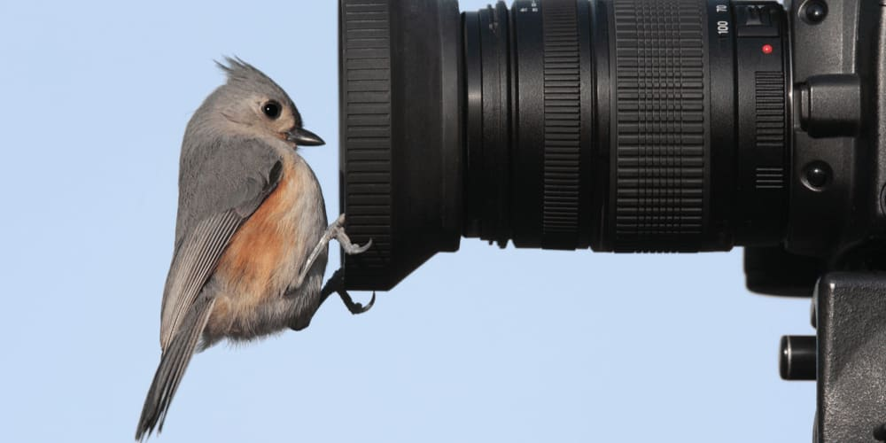 Funny tufted titmouse peeking into a camera lens