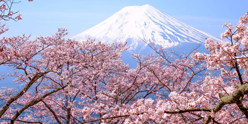 Japanese Cherry Blossom Forecast