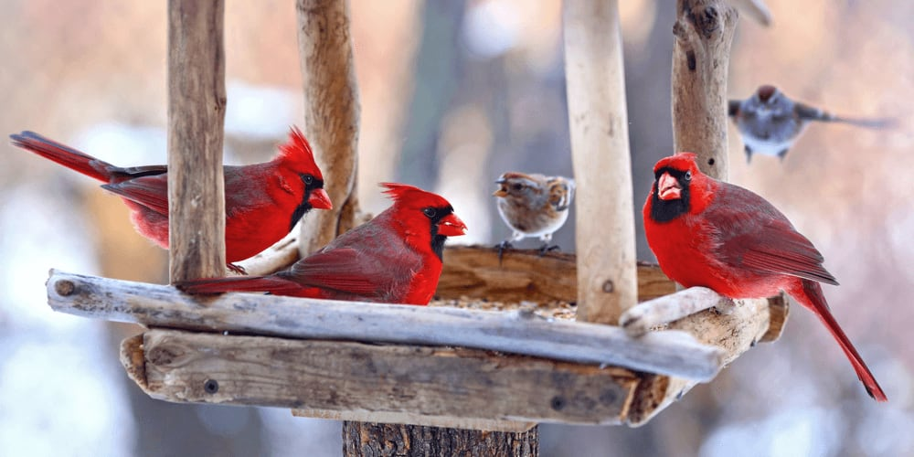 Cardinals feedinf from a feeder