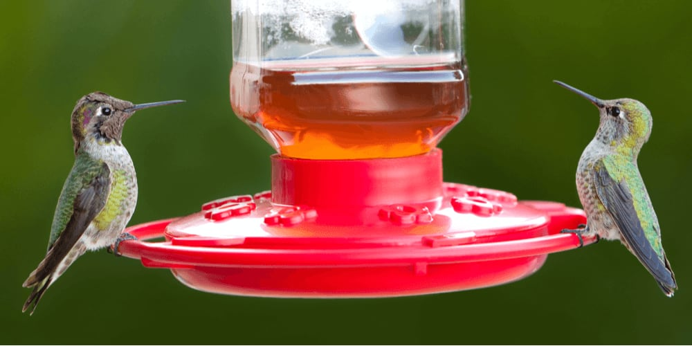 Hummingbirds drink nectar from feeders