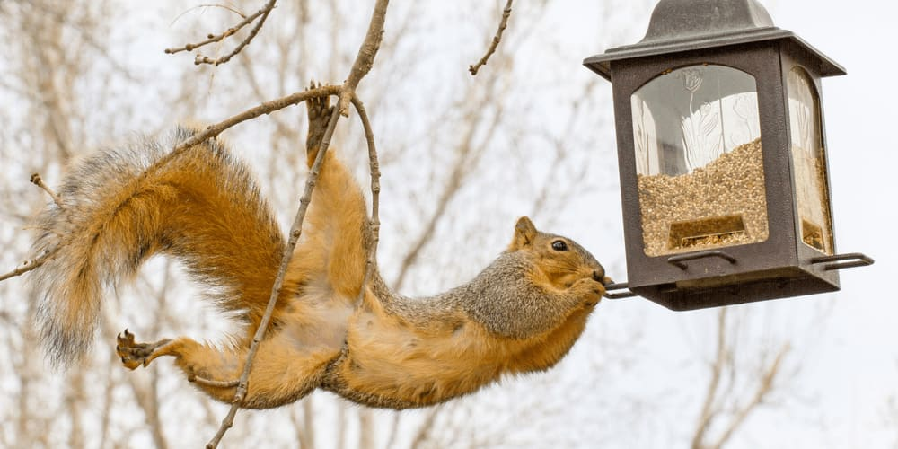 Squirrel steals seeds from a bird feeder