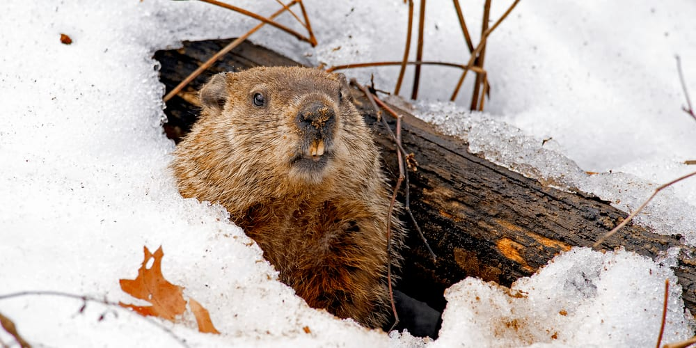 Groundhog peeking out from its den