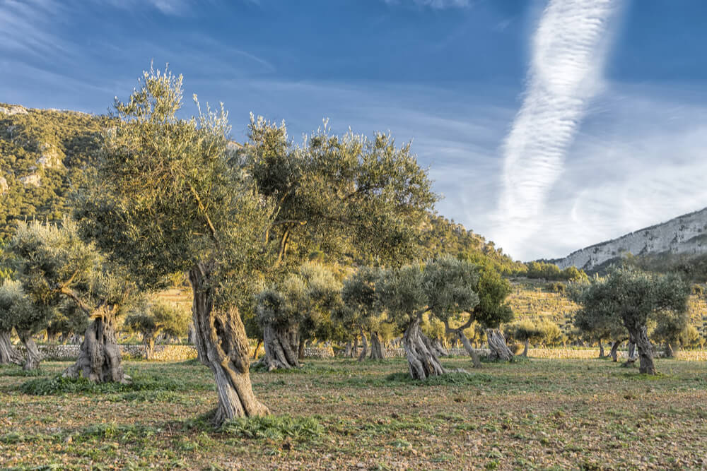 Look at the twisted trunks of the trees in this olive grove in Mallorca!