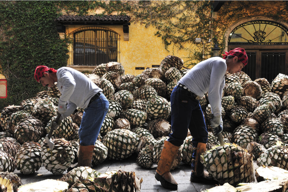 Workers cutting agave at Jose Cuervo tequila distillery inTequila, Jalisco, Mexico