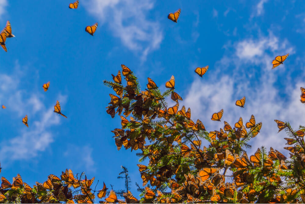 Monarch butterflies migrate to Mexico from the U.S. and Canada.