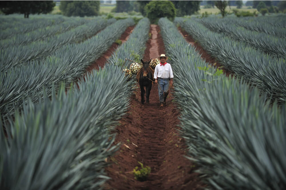Farmer and his donkey carrying harvested blue agave for Tequila production, town of Tequila, Jalisco, Mexico