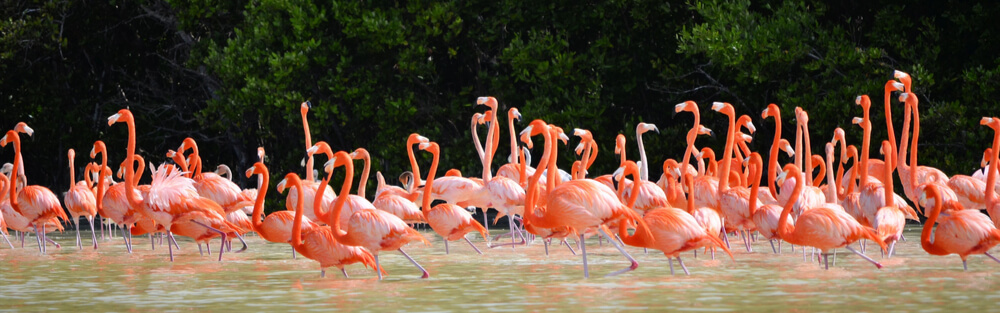 Graceful flamingos are feeding in the water in Celestun, northwest of Merida, Mexico
