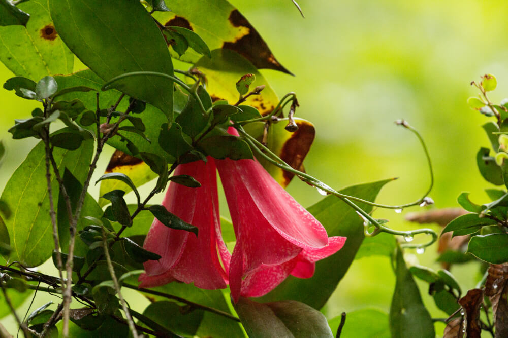 Copihue is the floral emblem of Chile