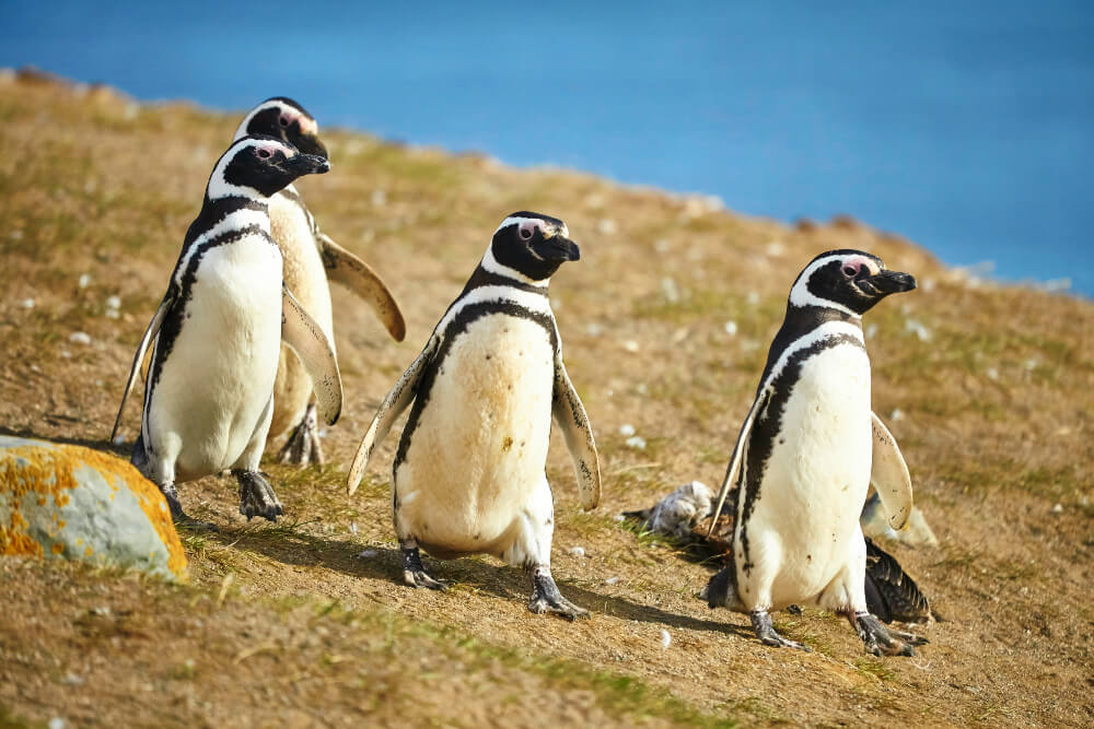 Three Magellanic penguins in natural environment on Magdalena island in Patagonia, Chile