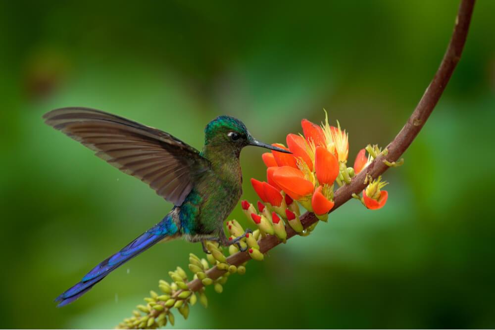 Long-tailed Sylph, Aglaiocercus kingi, rare hummingbird from Colombia