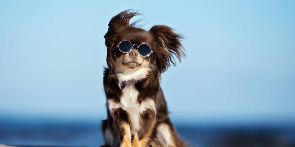 chihuahua dog in sunglasses