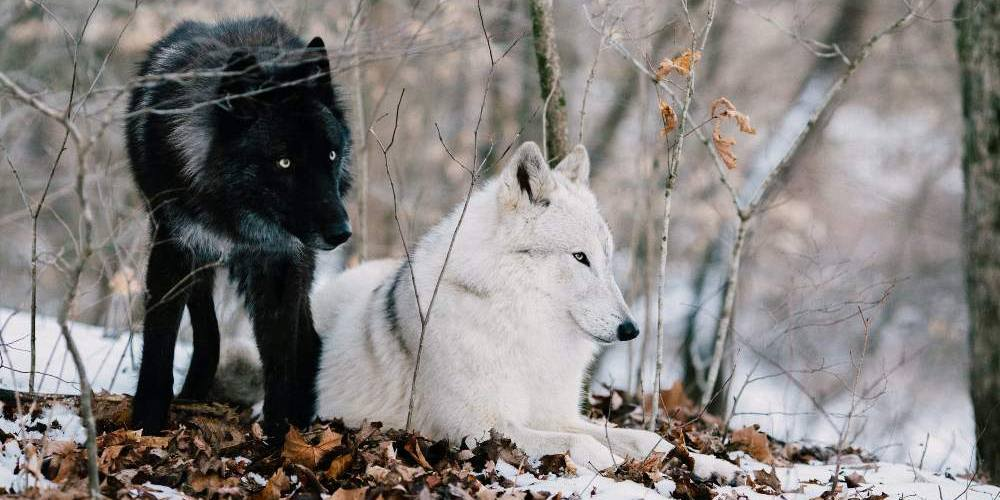 The wolf moon is named for the wolves that howl in the dead of winter.