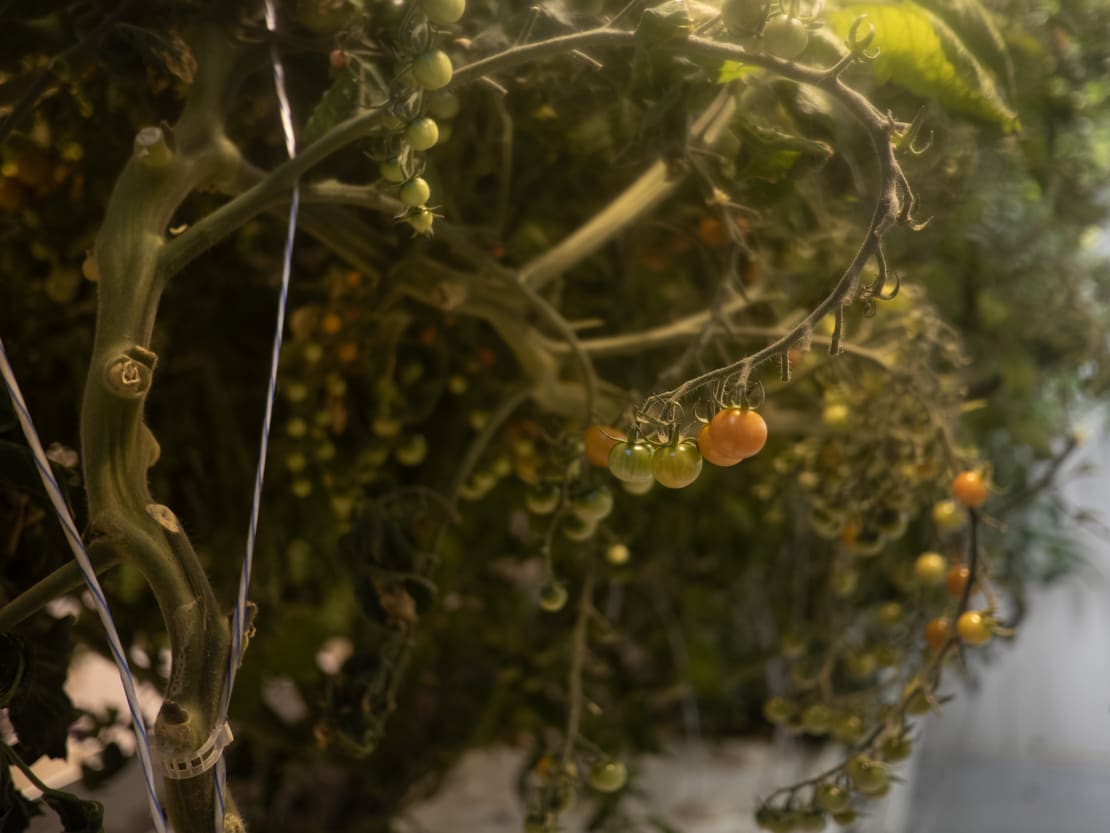 Close-up of small unripe tomatoes on the plant.