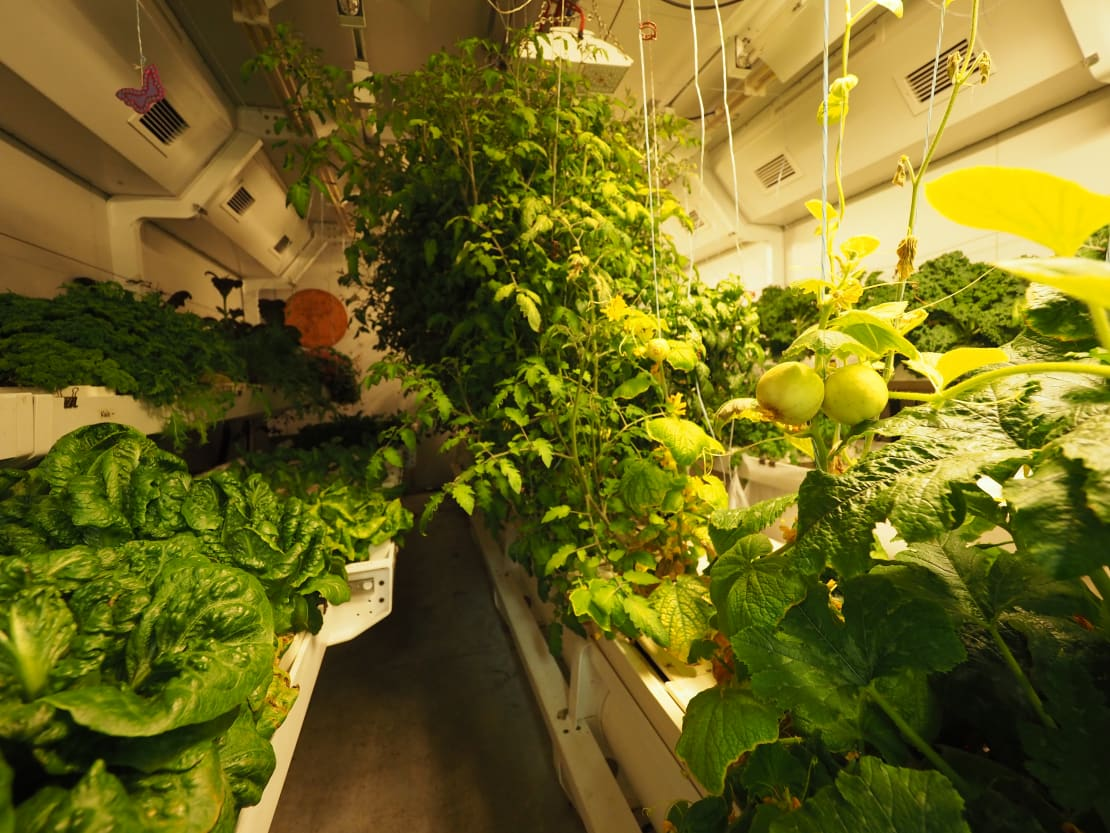 Rows of leafy greens and ripening vegetables in the greenhouse.