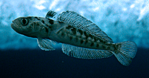 Bald rockcod