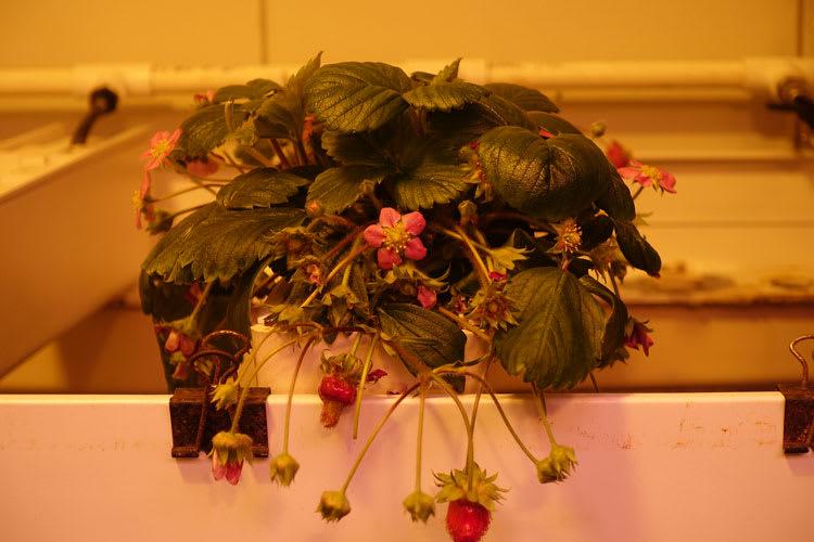 tinystrawberries