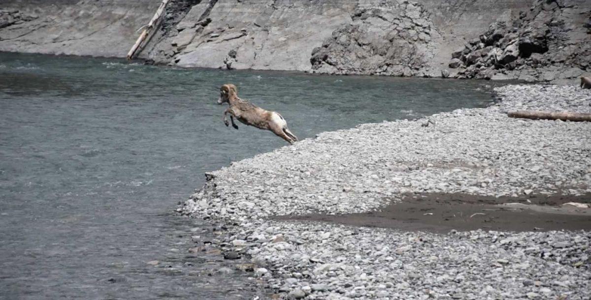 חיות בר בפארק הלאומי באנף, אלברטה, קנדה