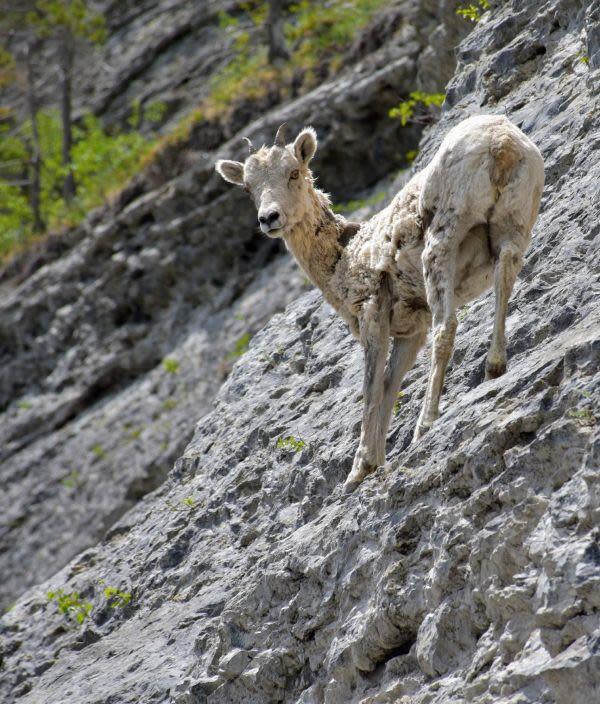 עז עומדת בזווית על הר באיזור ה-Goat Creek, קנדה