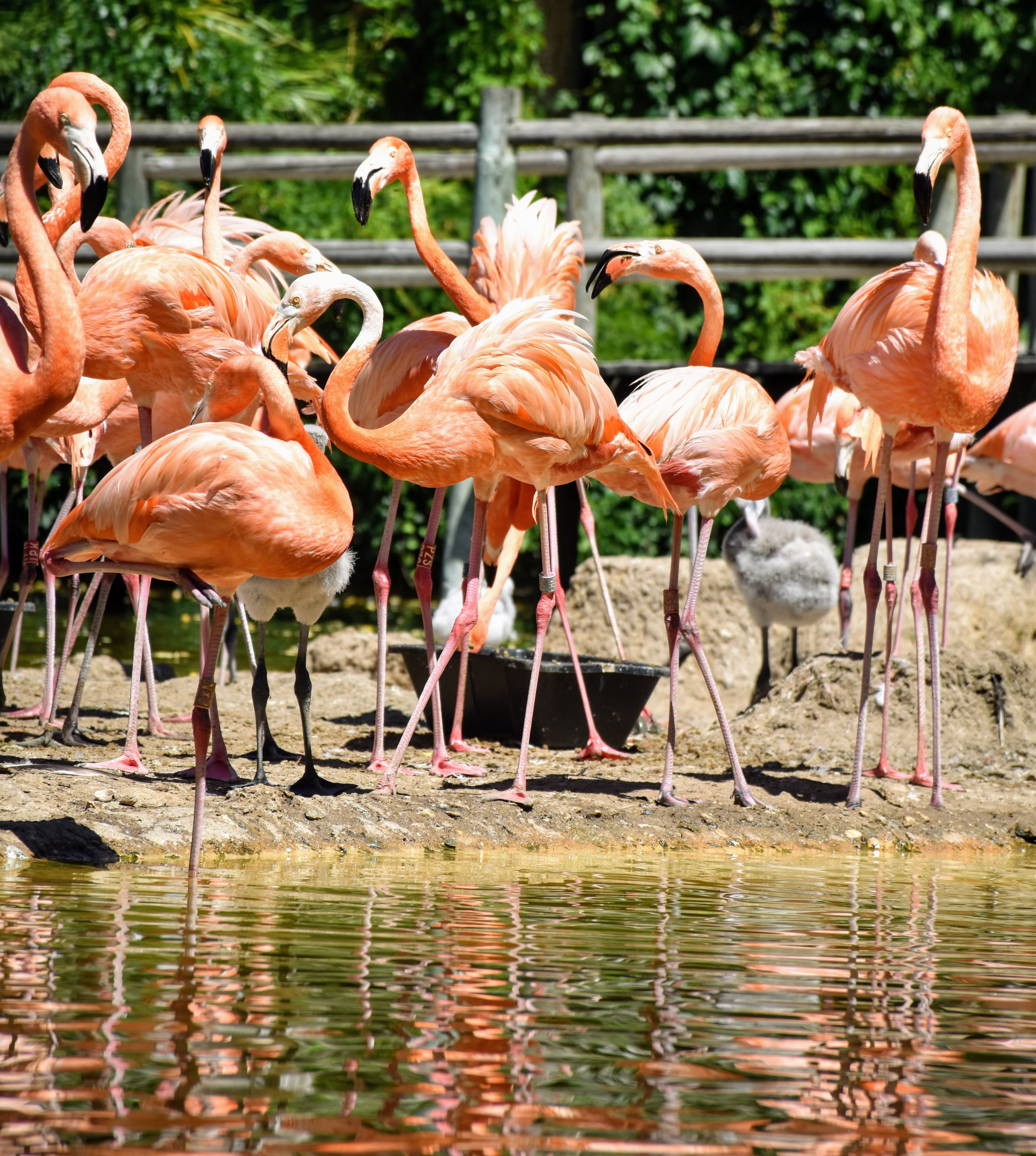 פלמינגו בגן החיות של לה רושל